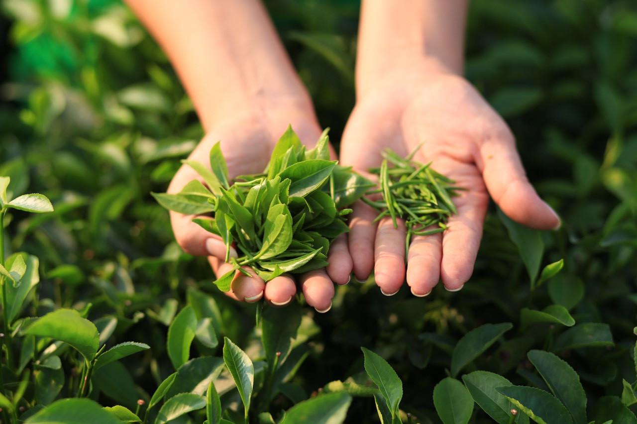 Trà xanh hữu cơ: Hướng đi mới trong toàn ngành - 2