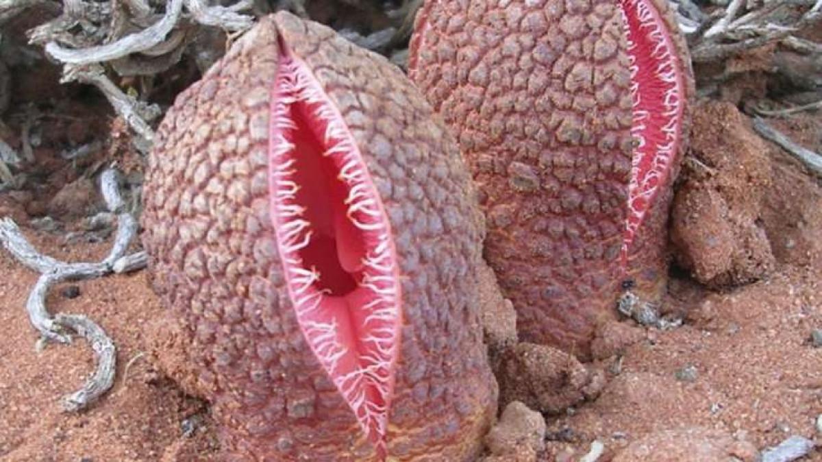 Cây ký sinh (Hydnora) chủ yếu sinh sống ở Nam Phi thường bám vào rễ của các loài thực vật khác và phát triển hoàn toàn dưới lòng đất, ngoại trừ hoa của nó. Cây ký sinh có mùi khó chịu để thu hút các loài bọ cánh cứng nhưng cái