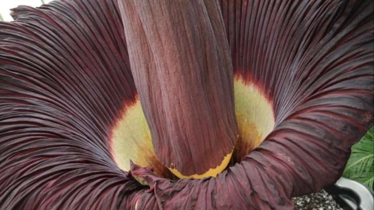 Cây hoa xác thối có tên khoa học là Amorphophallus titanum, thường sống ở Tây Sumatra. Đây là loài hoa lớn nhất thế giới và có lẽ là loại thực vật có mùi tồi tệ nhất trên hành tinh.