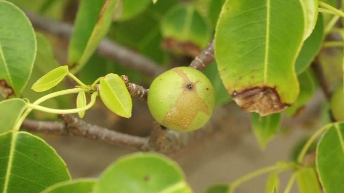 árbol de la muerte là tên của cây táo tử thần trong tiếng Tây Ban Nha. Sách kỷ lục Guinness thế giới đã đưa loài cây này là loài cây nguy hiểm nhất hành tinh. Cây táo tử thần có thể tiết ra nhựa gây ra vết thương nghiêm trọng. Nếu chẳng may ăn nhầm quả của cây này có thể dẫn đến tử vong. Thậm chí, khi đốt cây này, khói phát ra từ nó có thể gây mù mắt.