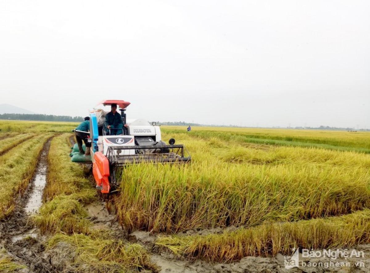 Nghệ An khẩn trương thu hoạch vụ mùa tránh thiệt hại do bão (Ảnh minh họa: KT)