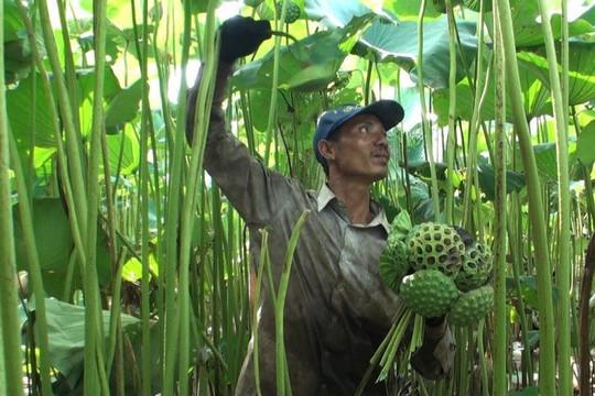 Thu cả trăm triệu đồng mỗi vụ từ trồng sen khổng lồ lấy hạt