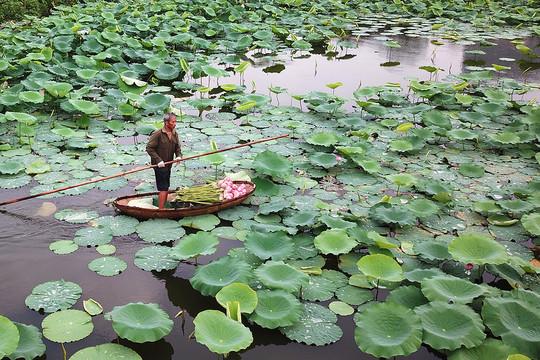 Hà Nội đến và yêu: Sen Tây Hồ, đầm sen lâu đời và lớn nhất Thủ đô