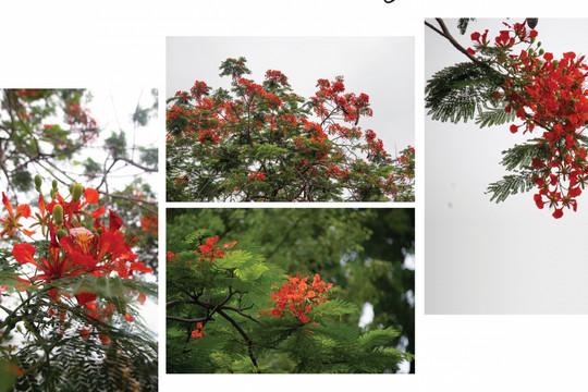 Hà Nội, hè về trong những sắc hoa